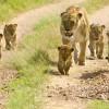 Löwenfamilie auf Safari