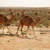 Dromedare in der tunesischen Wüste