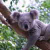 Ein typischer Bewohner Australiens - Der Koalabär