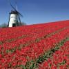 Holländisches Tulpenfeld